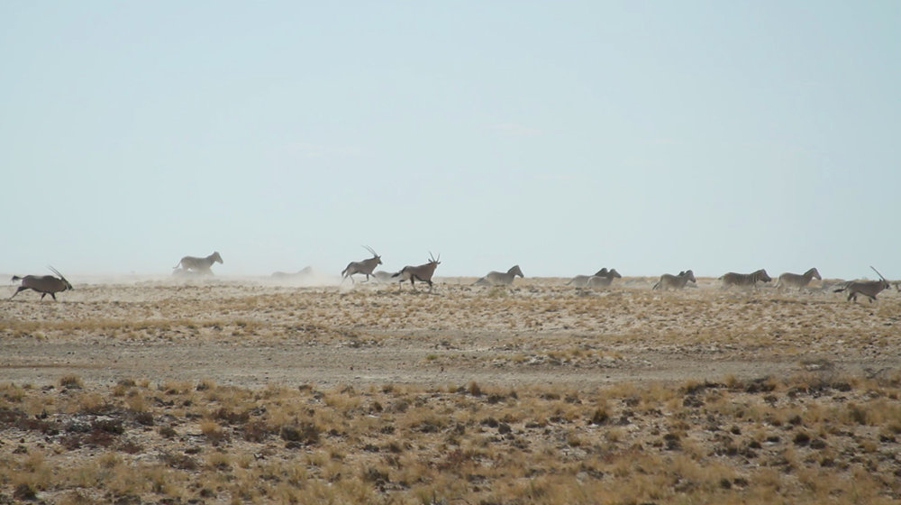 Oryx running in Etosha National Park, Namibia.