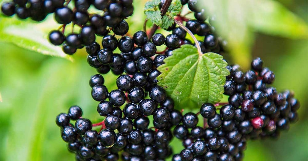 How-to-Grow-Elderberries-sm.jpg