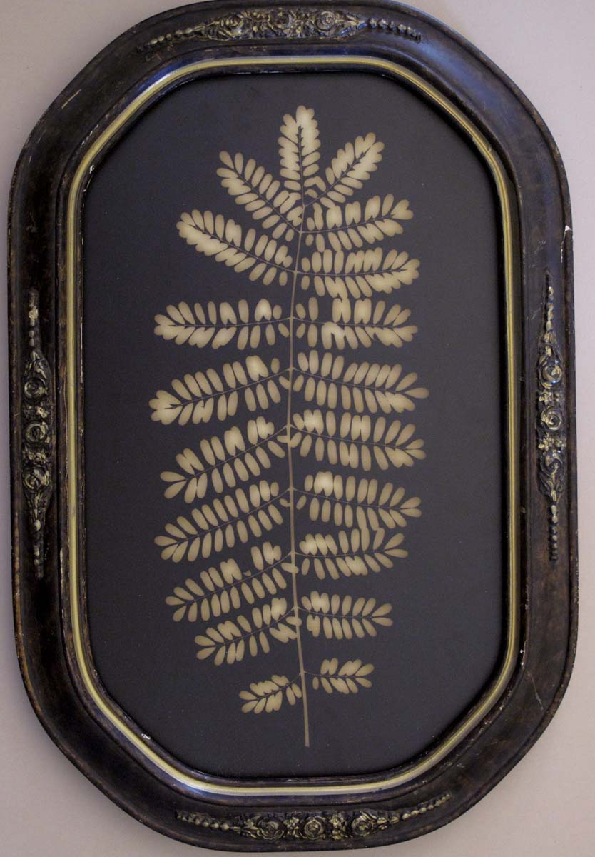Jacaranda  Leaf