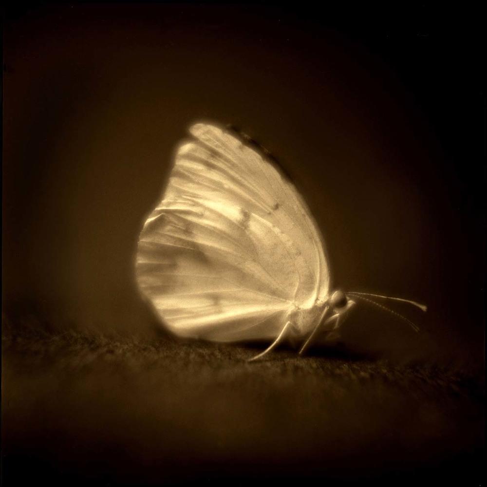 41. Common Sulfur Butterfly.jpg