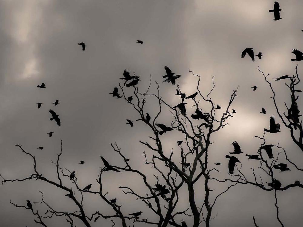Ravens, Kellidie Bay, South Australia  2013