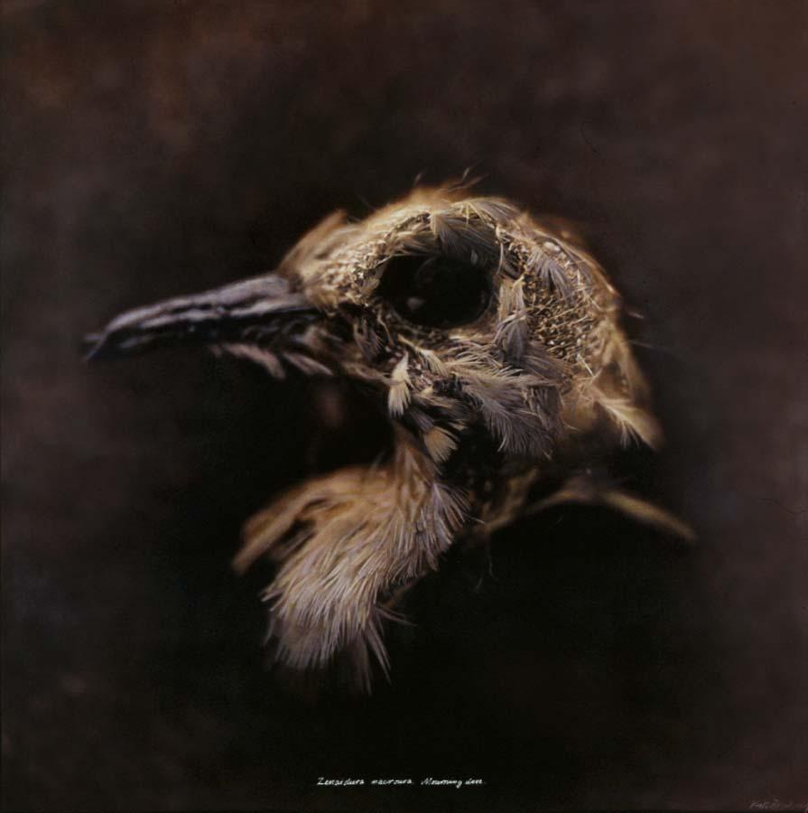5. Zenaida macroura, Mourning Dove