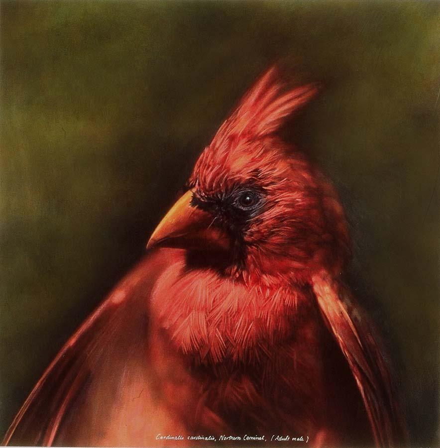 6. Cardinalis cardinalis, <BR>Northern Cardinal, (Male)