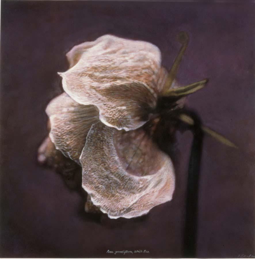 15. Rosa grandiflora, <BR>White Rose