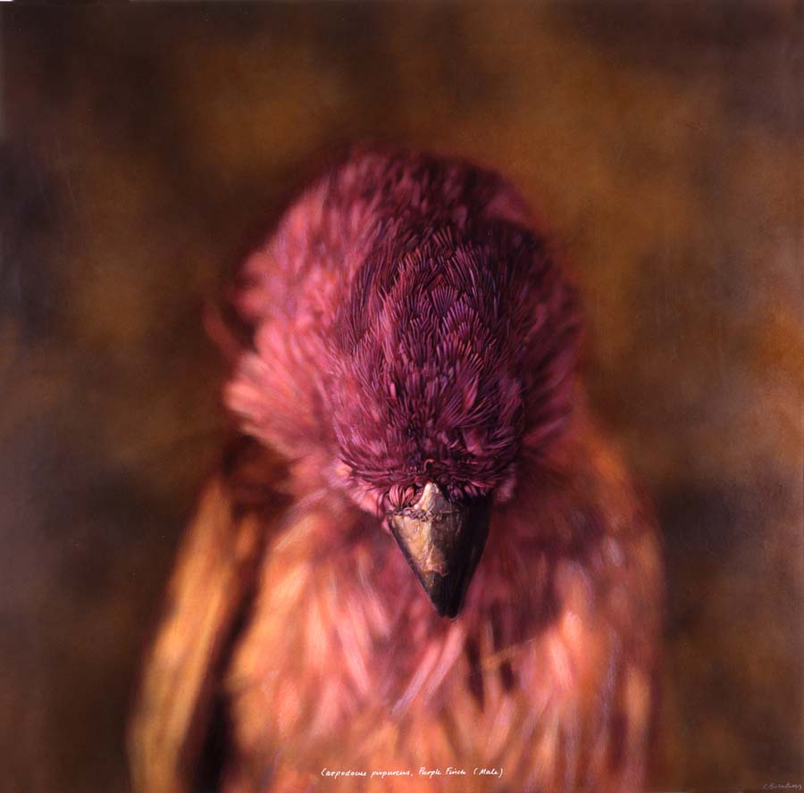 18. Carpodacus purpureus, <BR>Purple Finch