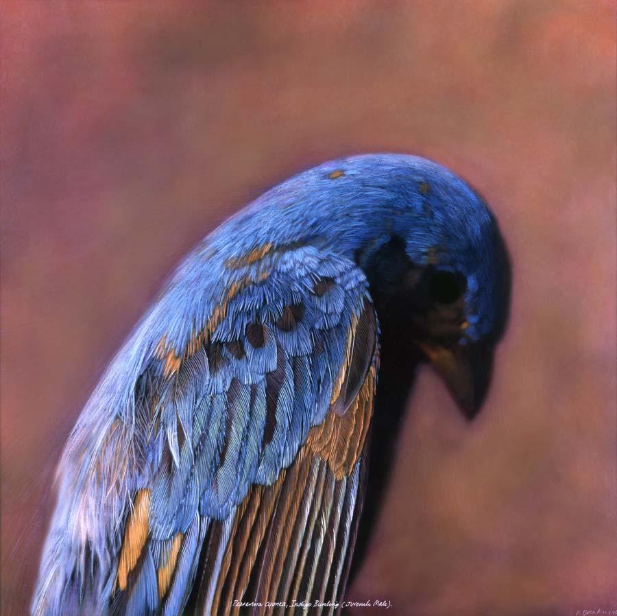 23. Passerina cyanea, <BR>Indigo Bunting, (Juvenile Male)