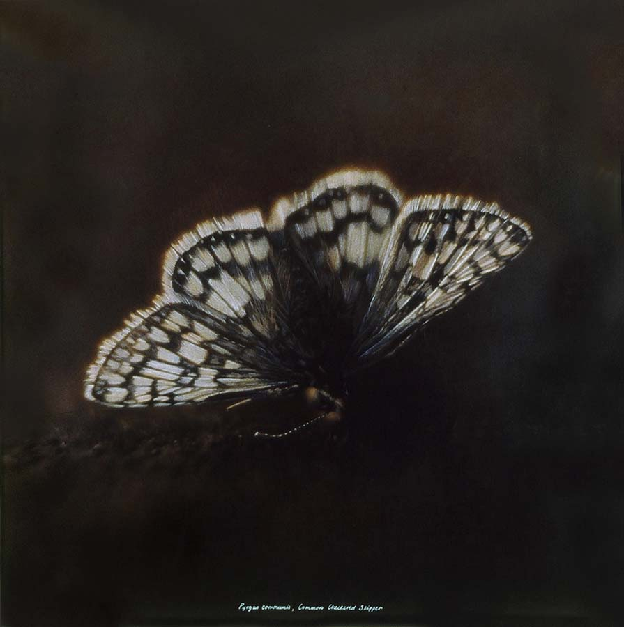 38. Pyrgus Communis, <BR>Common Checkered Skipper