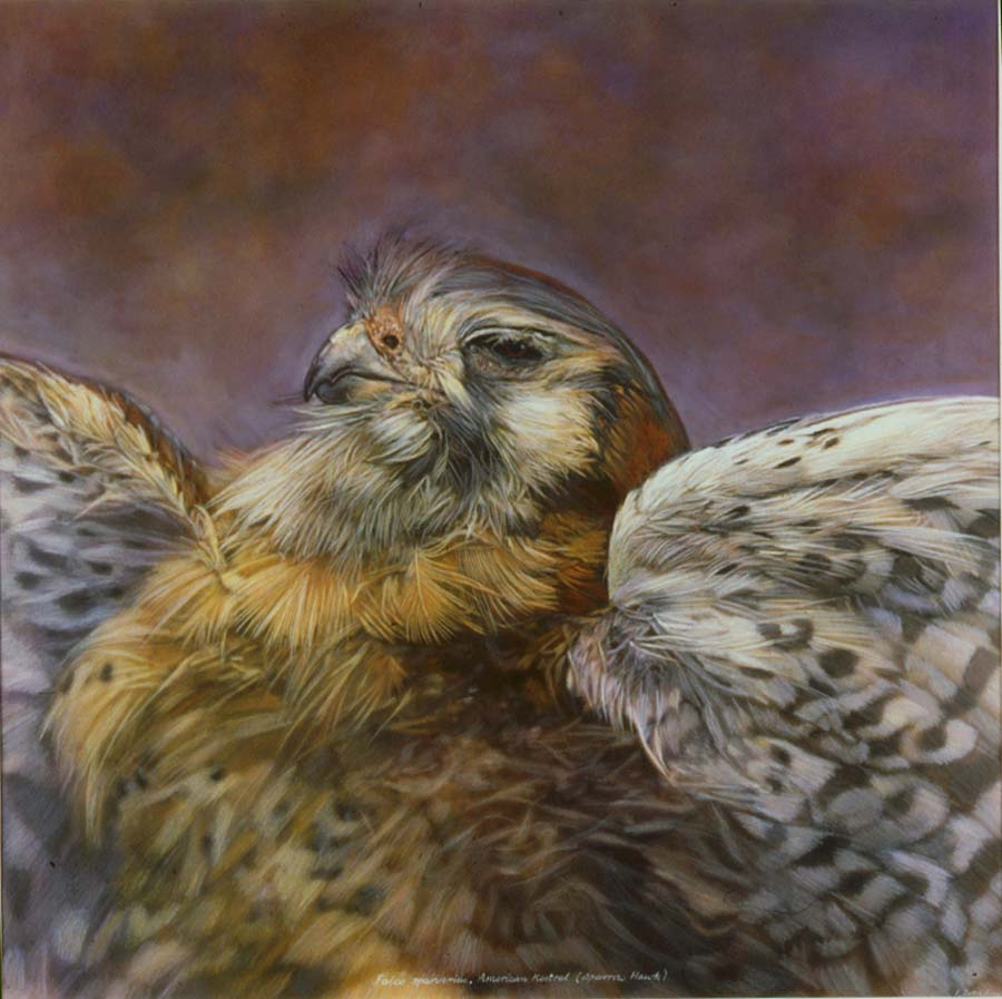 44. Falco sparverius, <BR>American Kestral