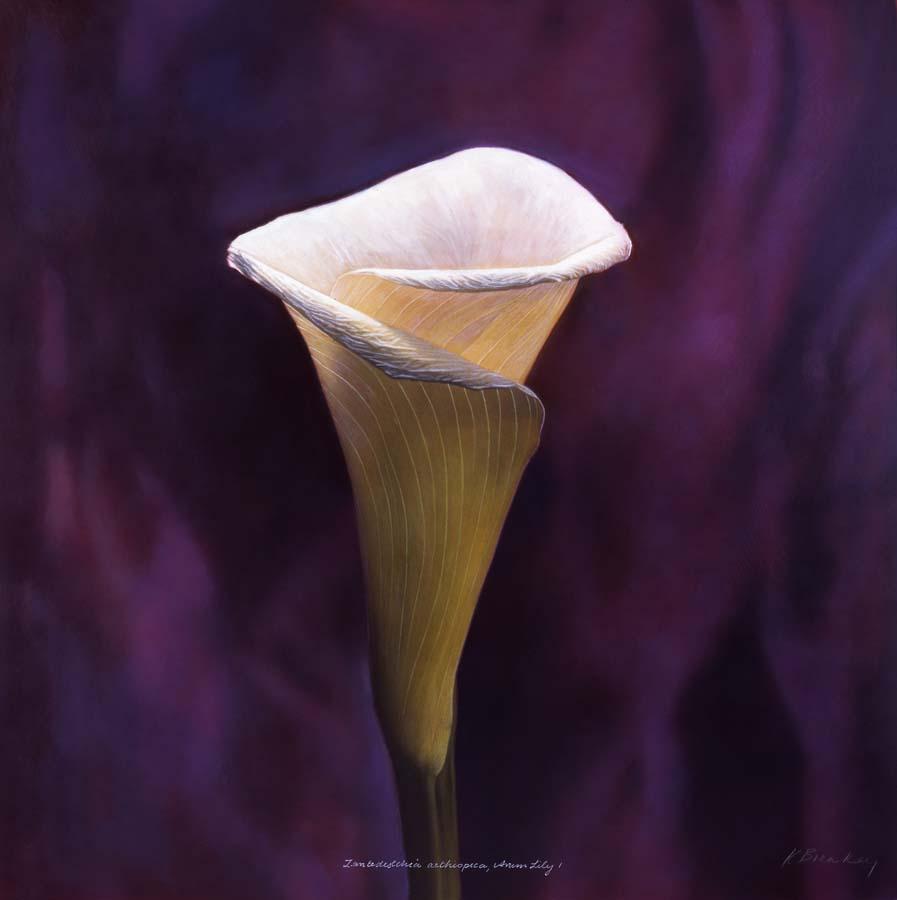 45. Zantedeschia aethiopica, <BR>Arum lily