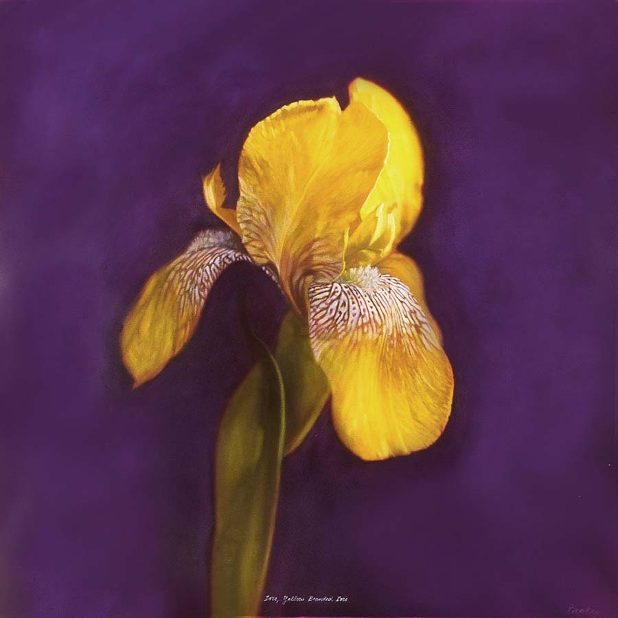 47. Iris, <BR>Yellow Bearded iris