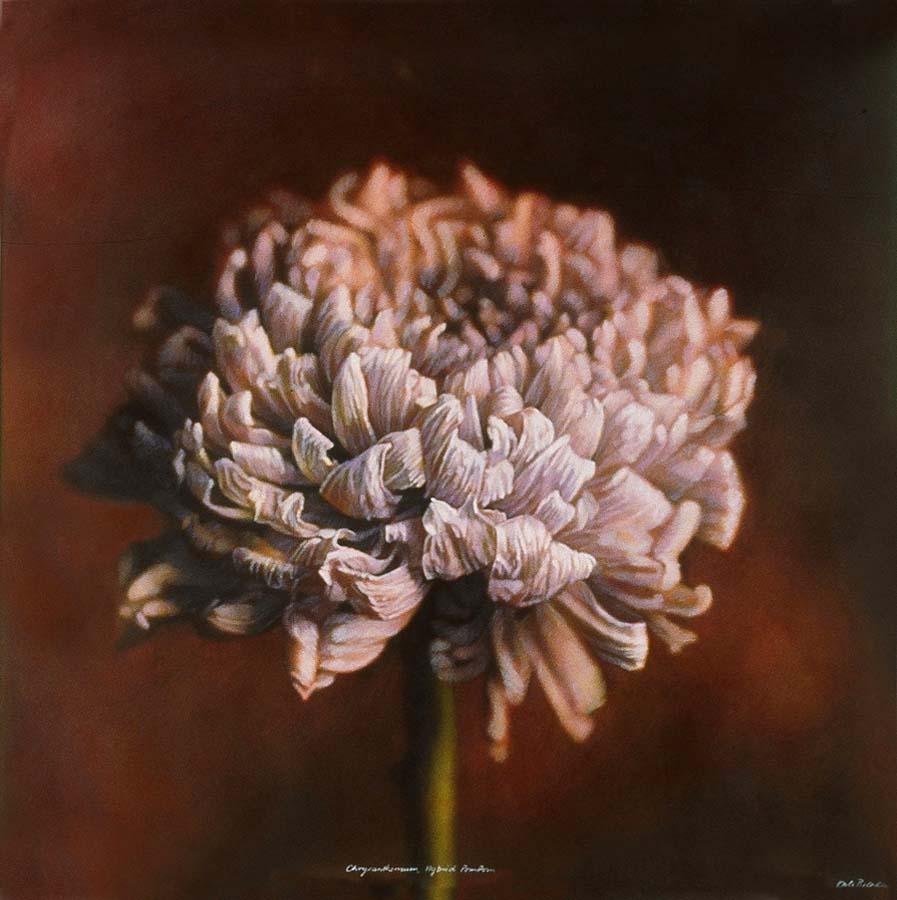 50. Chrysanthemum, <BR>Hybrid Pompom II