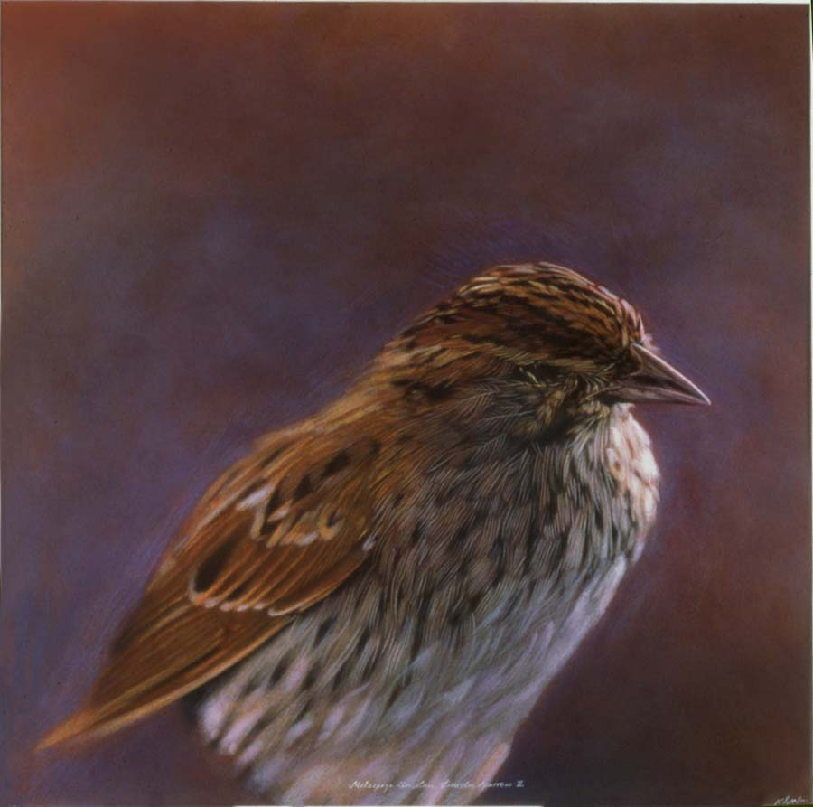 51. Melospiza lincolnii,<BR>Lincoln Sparrow II