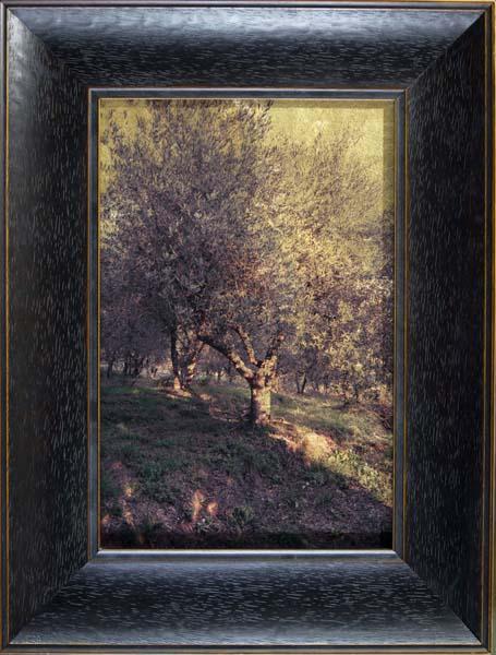Olive Grove, Benabbio, Tuscany