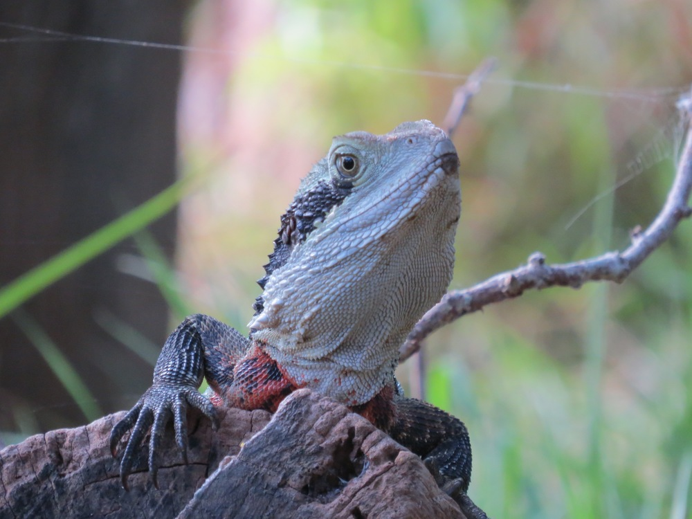 Bearded Dragon, Sirius Cove, Australia