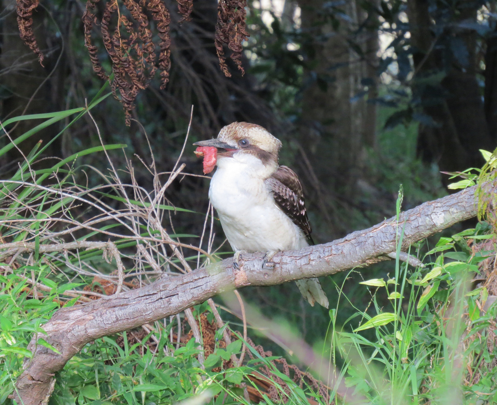 Kookaburra with Meat, Sydney, Australia