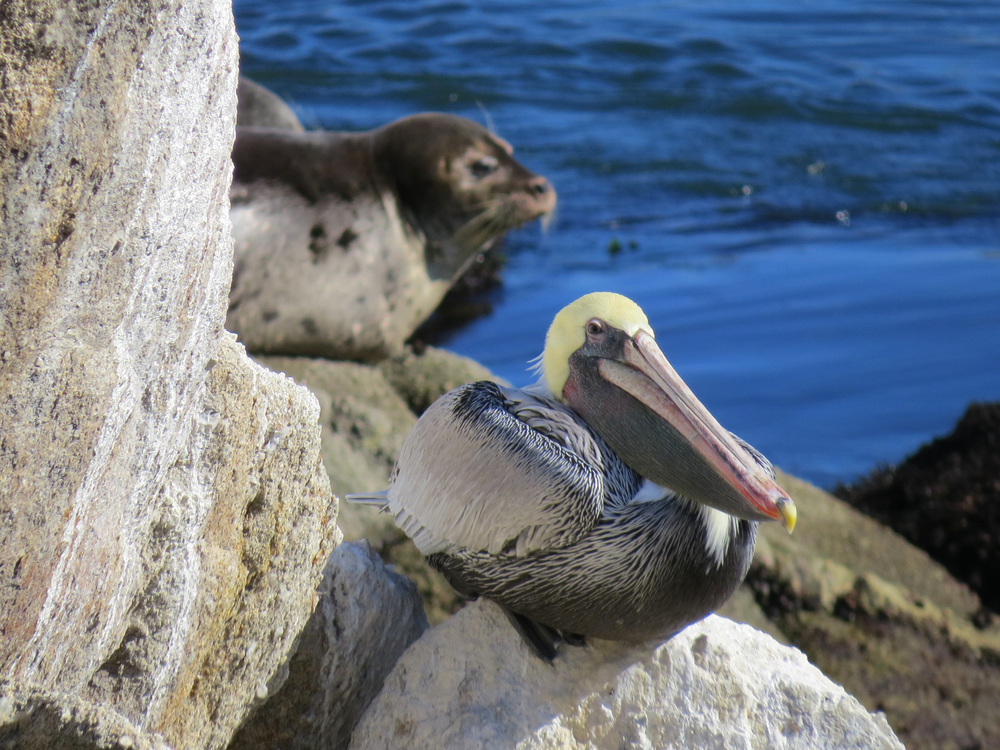 Pelican and Seal, Monterey, CA