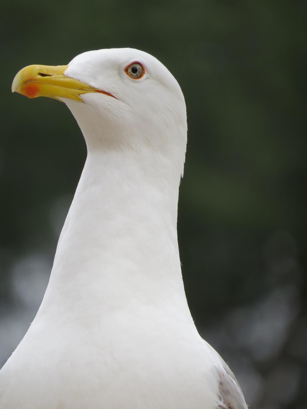 Seagull, Fire Island, NY