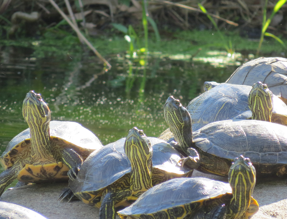 Sunbathing Turtles, Brooklyn, NY