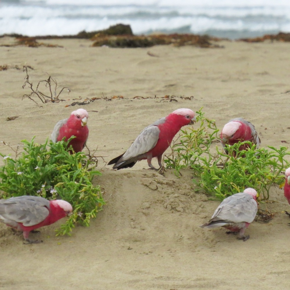 Galahs on the Beach in Gerringong