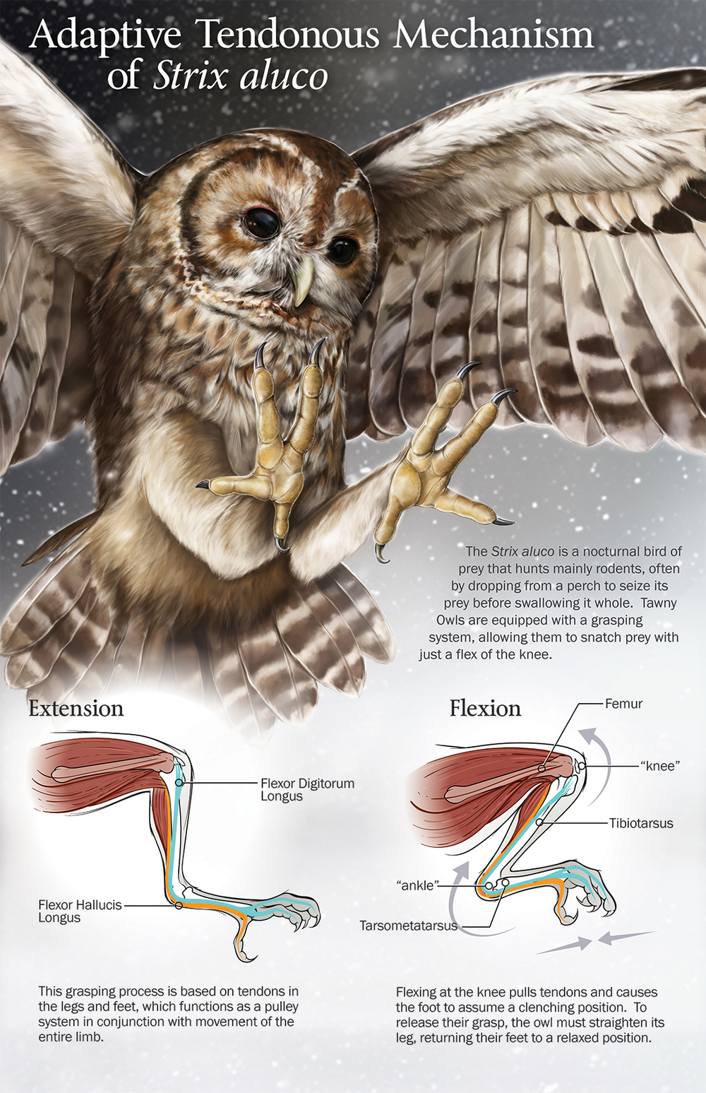 Zoological Illustration of the Tawny Owl