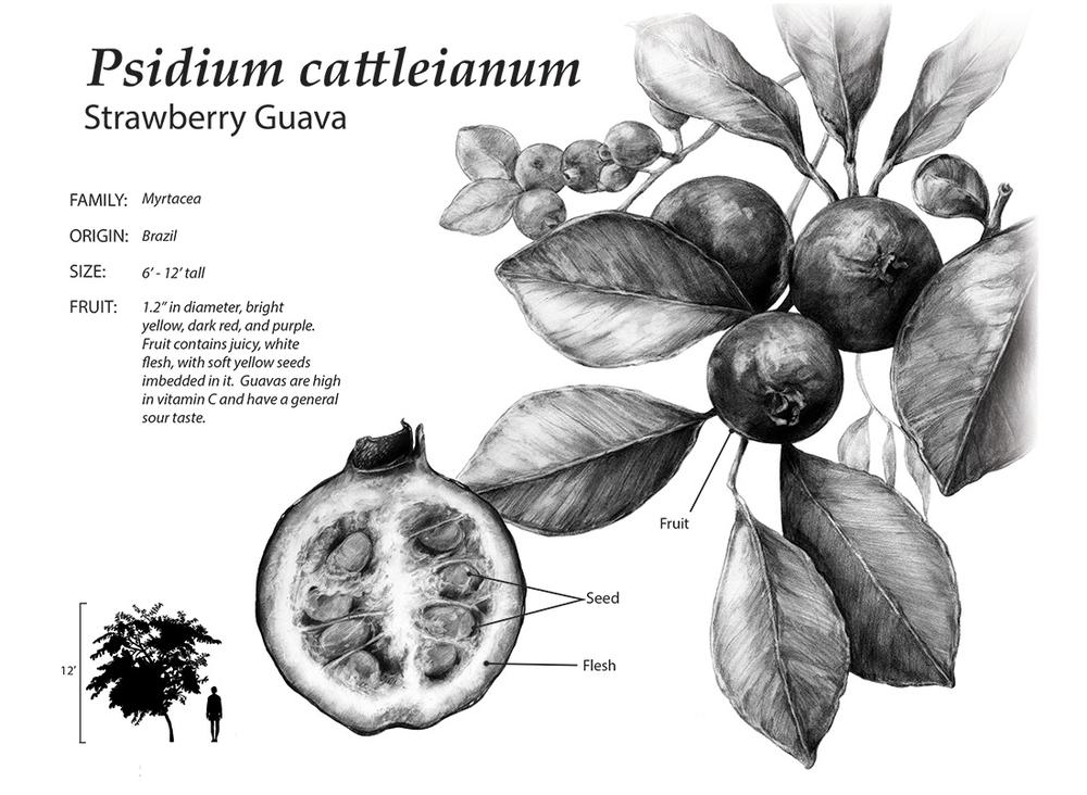 Botanical Plate Psidium cattleianum