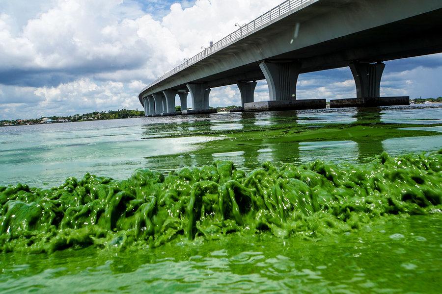 990609_1_Algae bloom in Flordia_standard.jpg