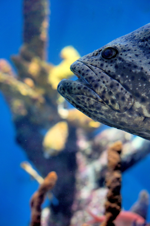 Aquarium Grouper