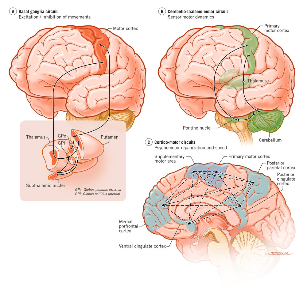 Basal ganglia, cerebellar, and cortical loops govern motor behaviors, and dysfunction across these circuits is implicated in the pathophysiology of psychosis.