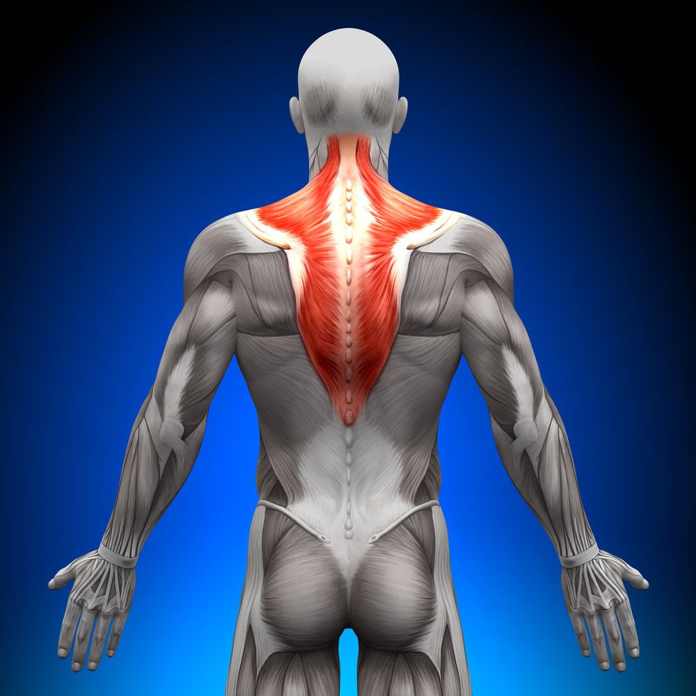 The trapezius muscles are used for EMG electrode placement