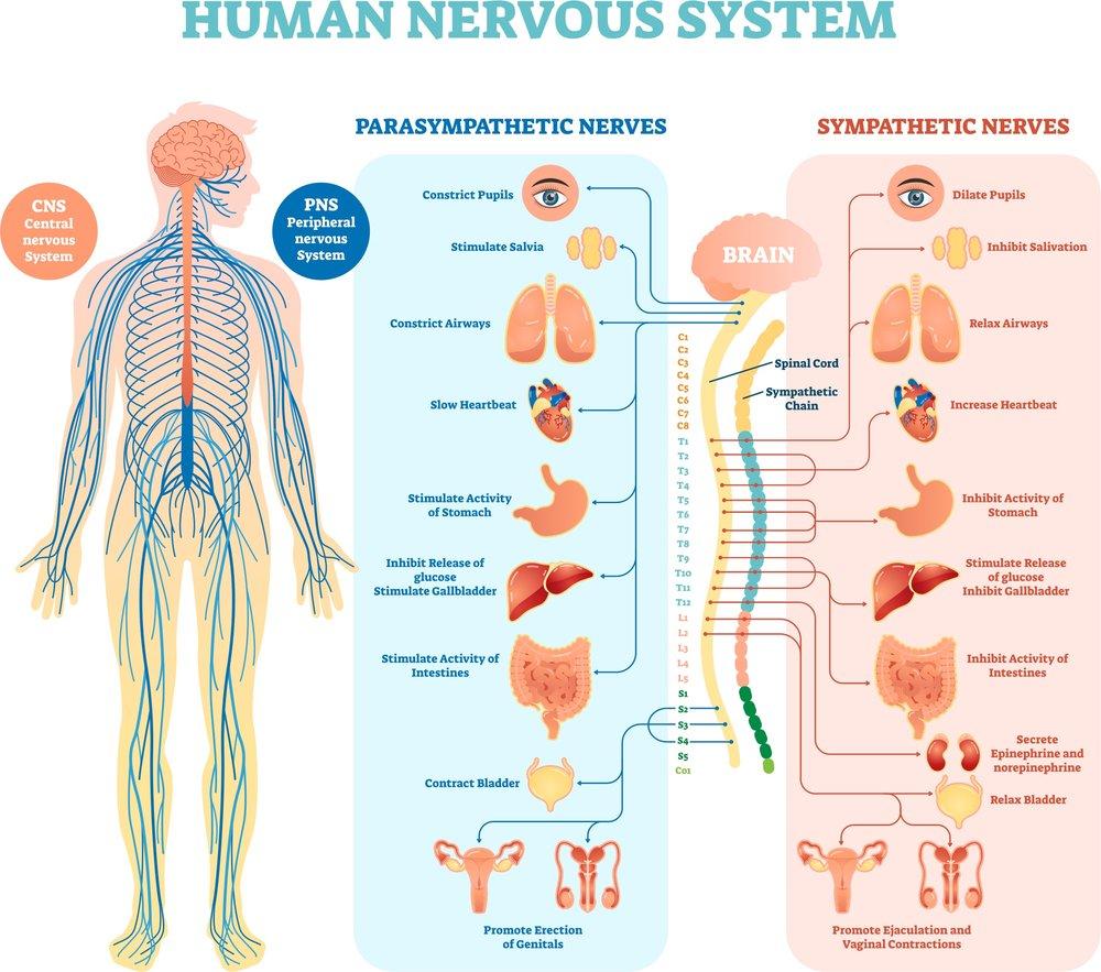 The ANS lmpacts many major organ systems