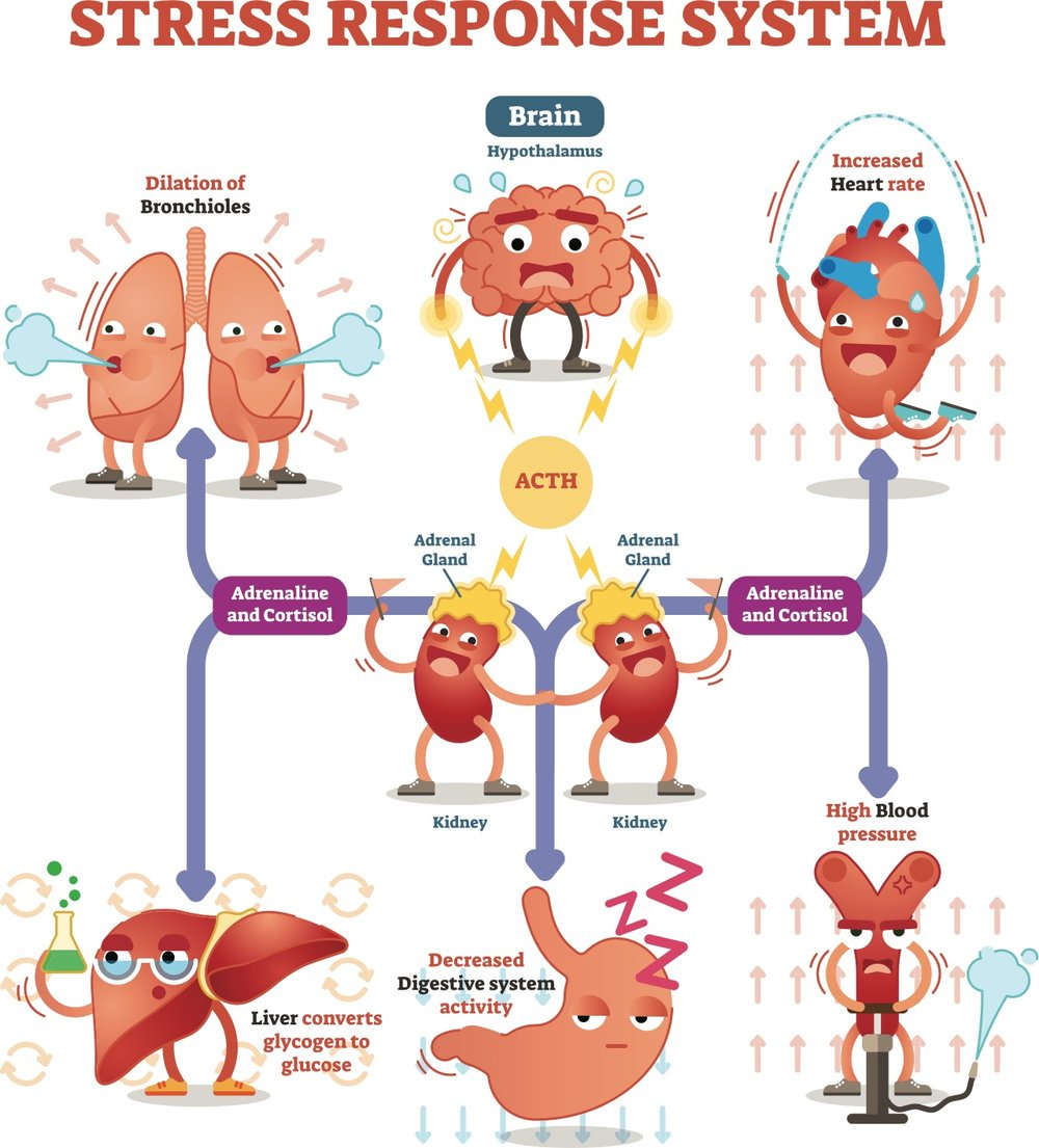 Stress consequences - it impacts on many body systems