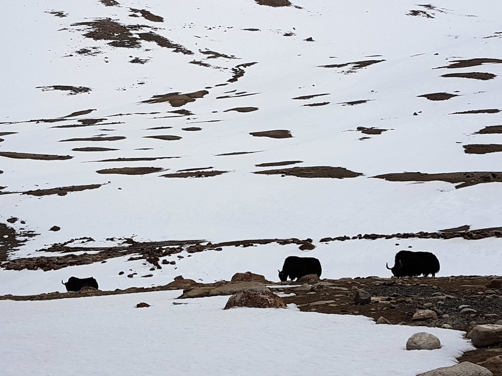 Wild yaks in the Himalayas