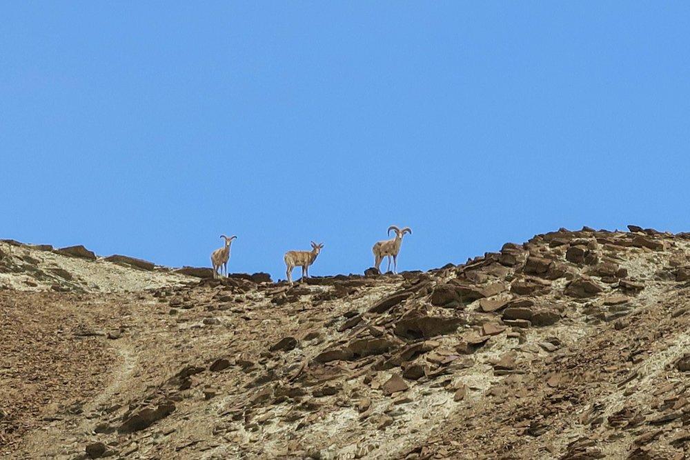 Spotting Ibex atop a mountain