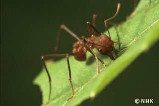 Ants Documentary - NHK Japan