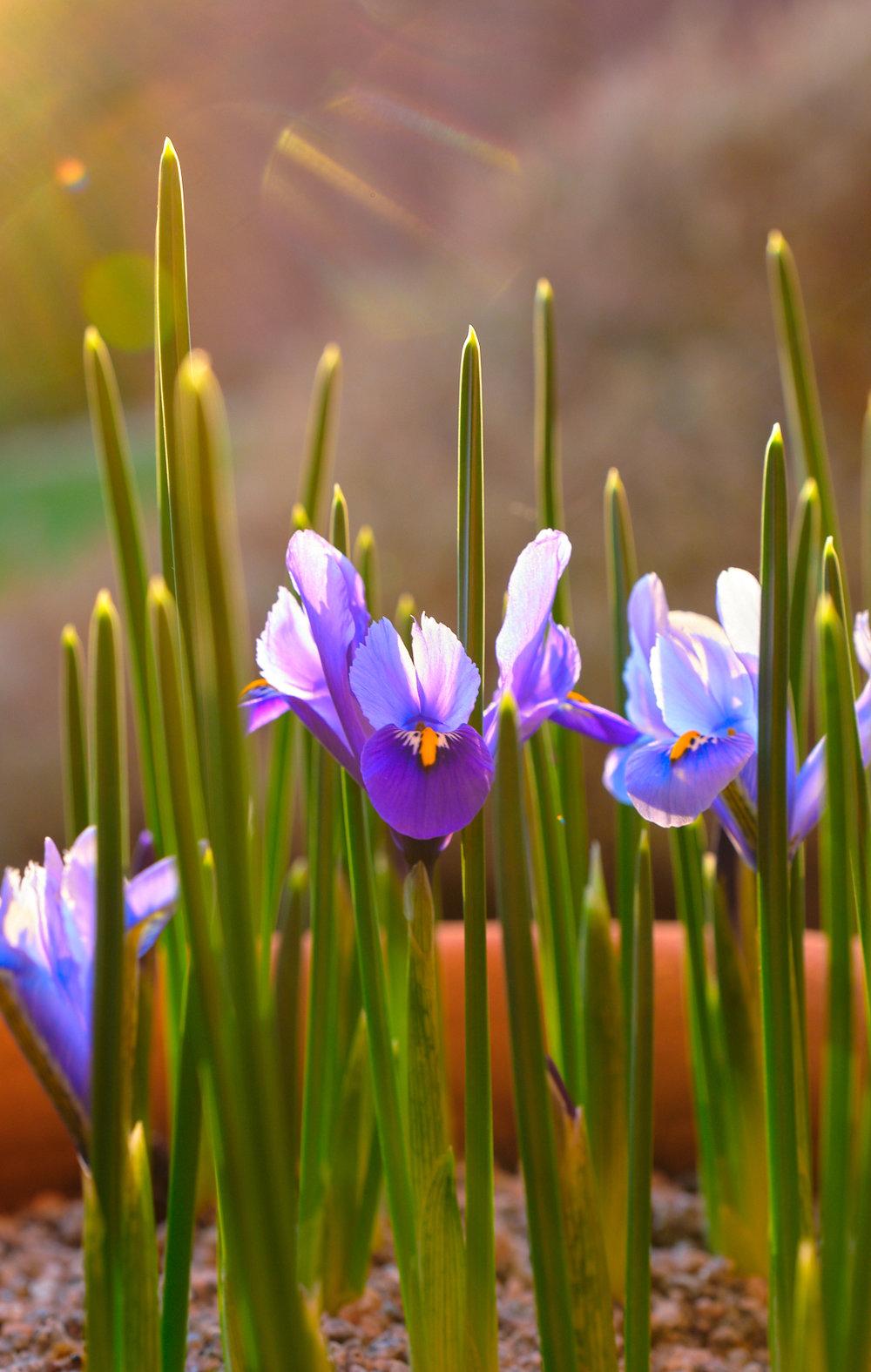 _DSF4398 - Irises.jpg