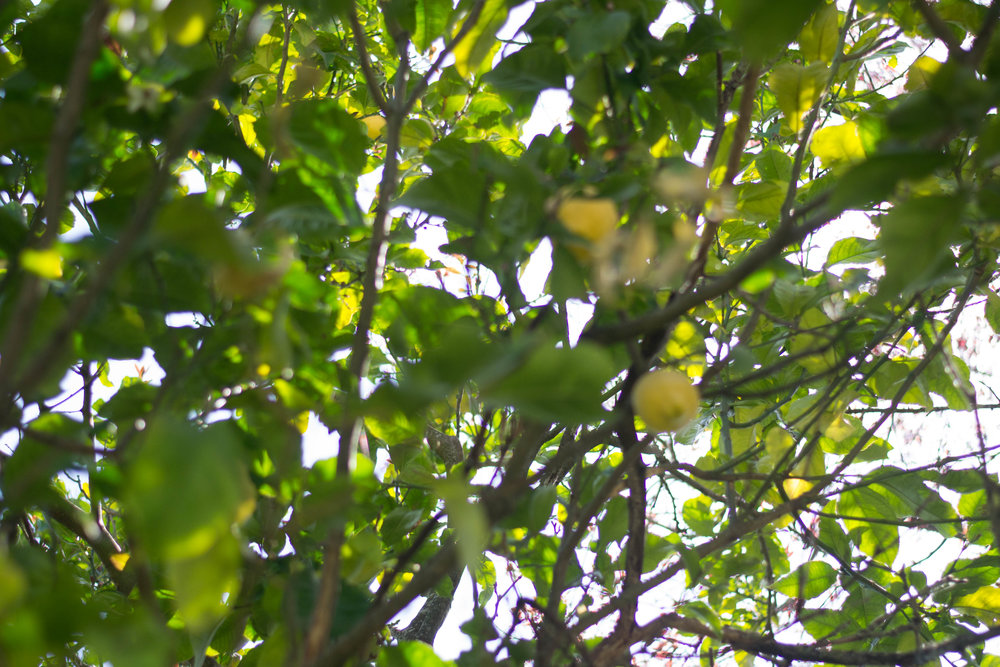 I realize this is very out of focus but it's the only picture I got of the lemon tree in the back yard!