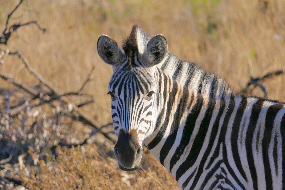 Zebra checking .jpg