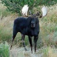 moose200.jpg
