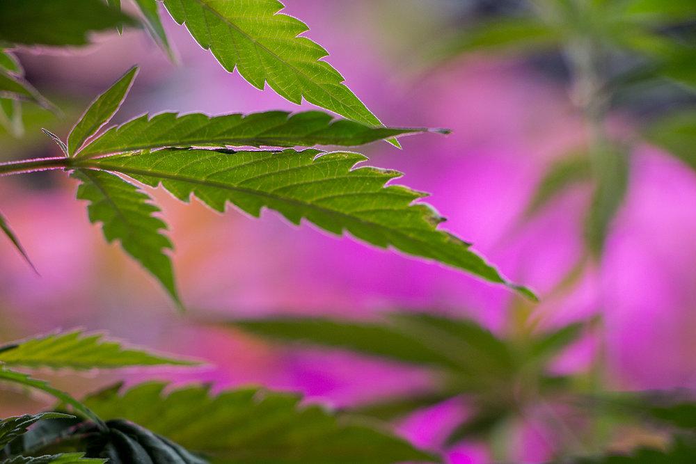 Hojas de cannabis sativa del cultivo de Ecuador Cannábico. 2018  Foto:  Oscar Maldonado