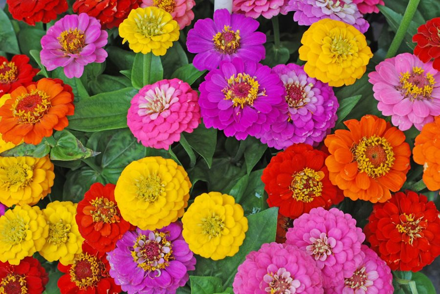 Zinnias - AnnualBlooms Early Spring—-Late-Summer