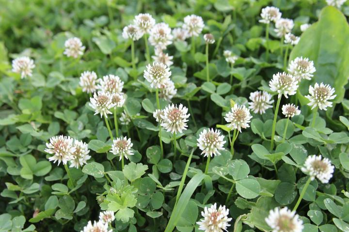 White Clover - PerennialBlooms Early Spring—-Mid-Summer