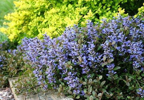 Chocolate Chip Carpet Bugle - PerennialBlooms Mid-Spring—-Late Summer