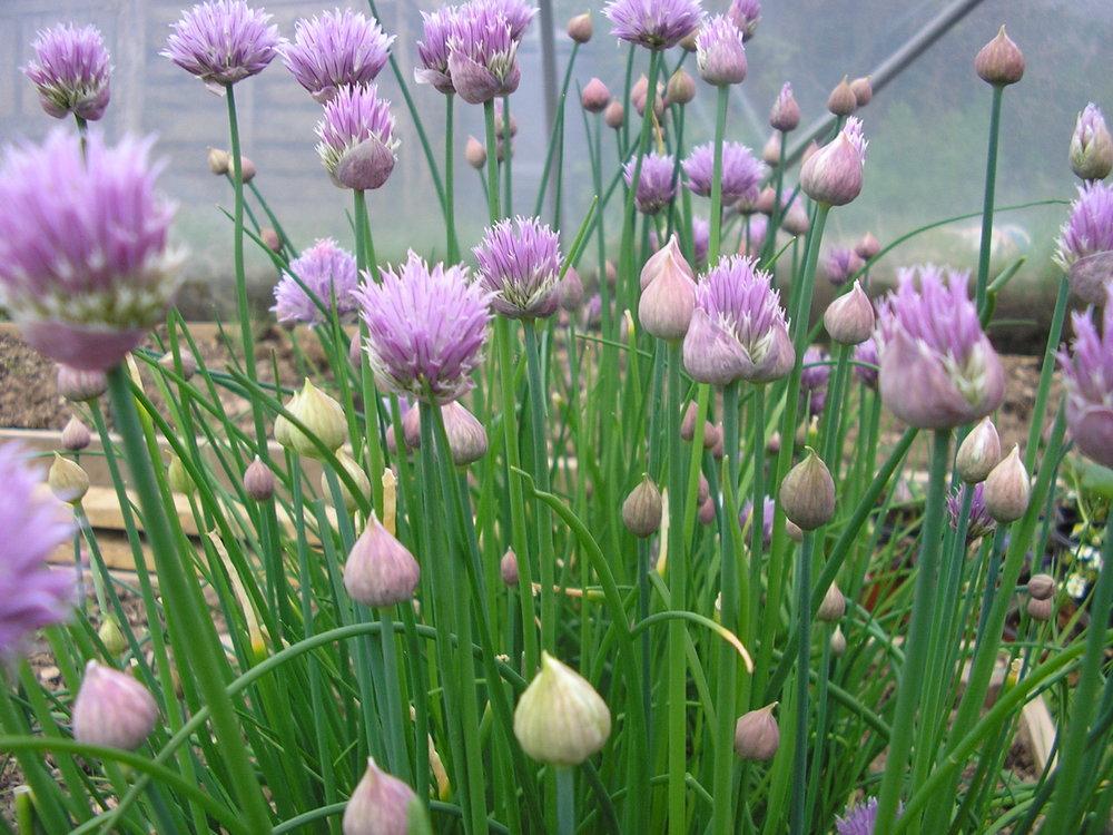 Chives - PerennialBlooms Mid-Spring—-Mid-Summer