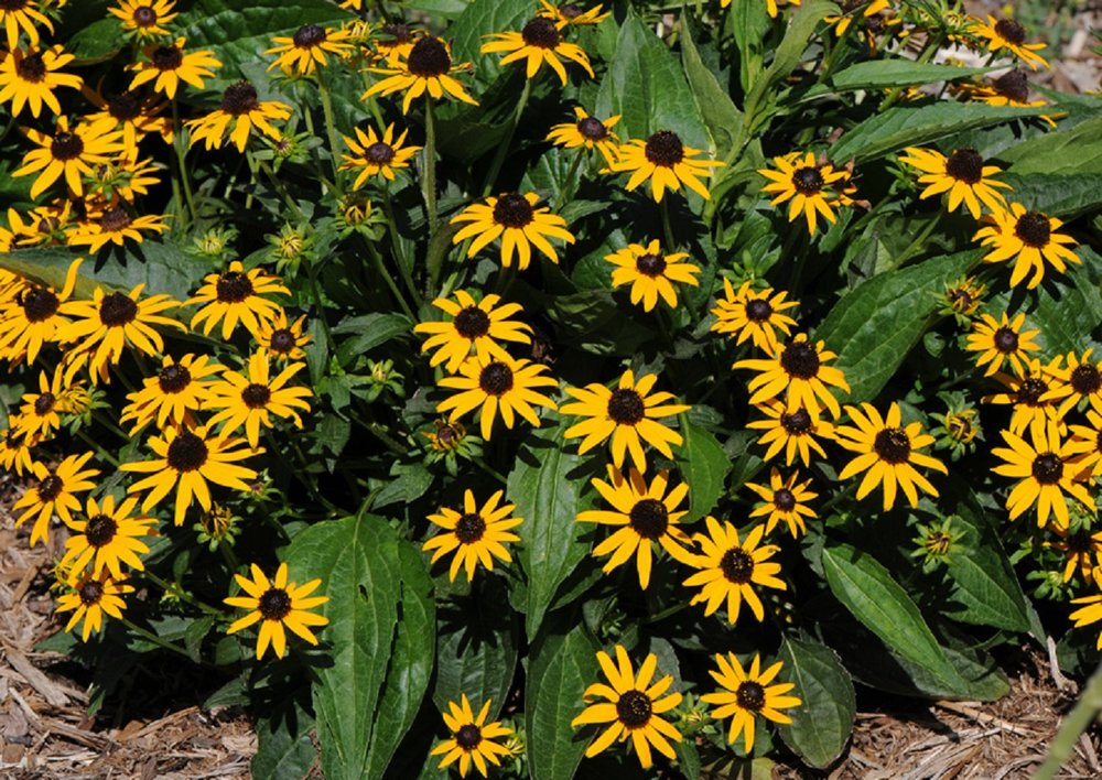 Black-Eyed Susan - AnnualBlooms Early-Summer—-Early Fall