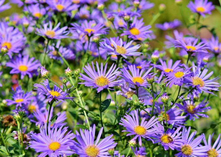 Asters - AnnualBlooms Mid-Summer—-Late Fall
