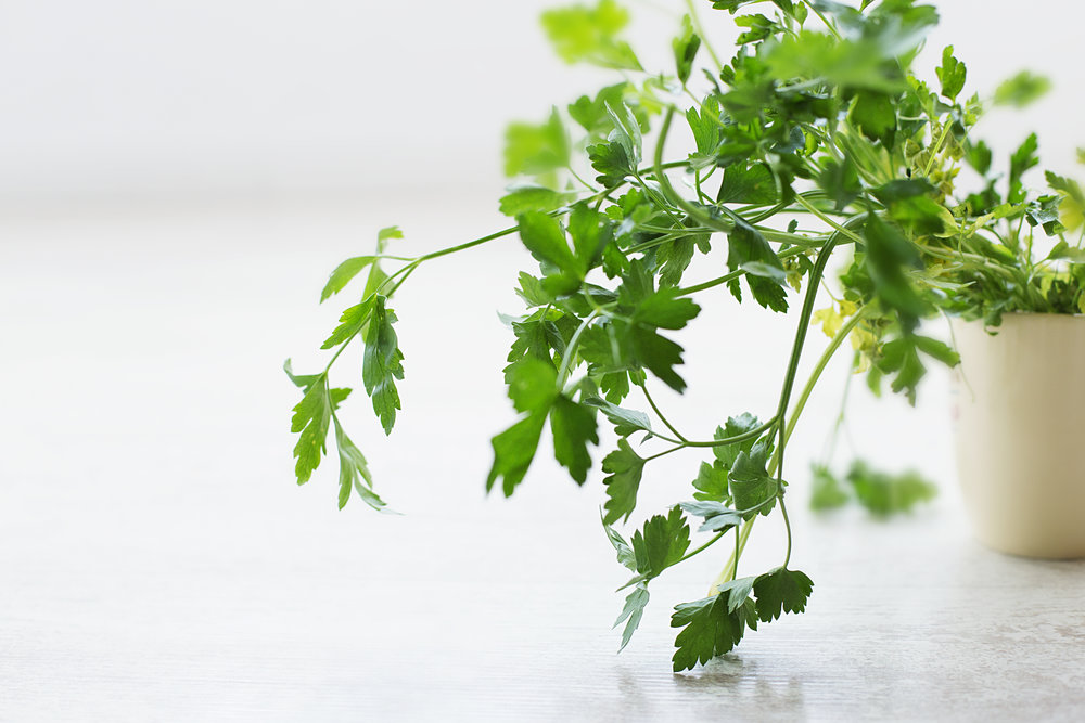 Parsley, flat leaf or curly, is a must have for home cooks. It is said the lessen he need for salt in a dish. It is easy to grow and even easier to preserve.