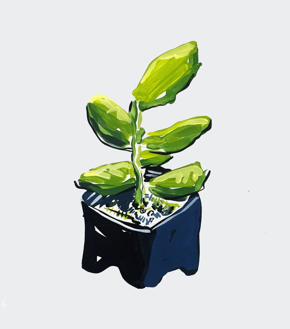 Succulent plant from Ralphs