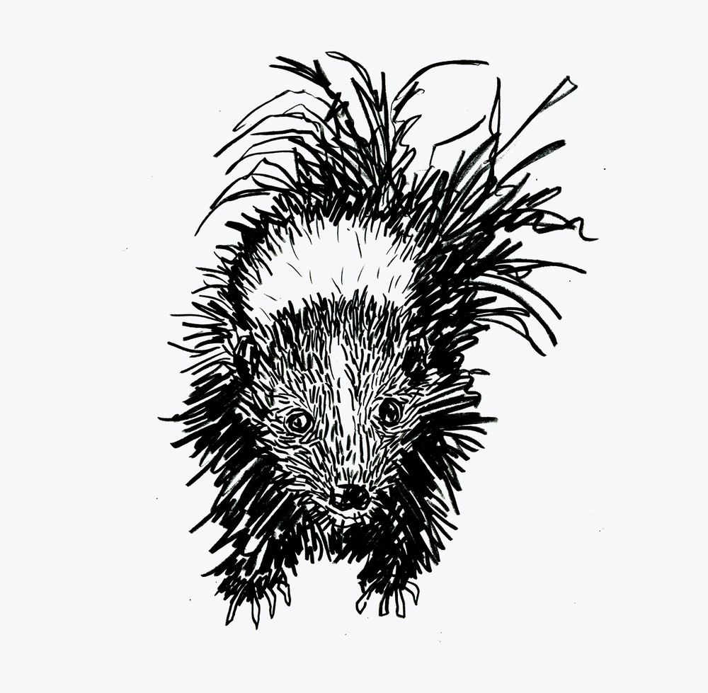 American Skunk