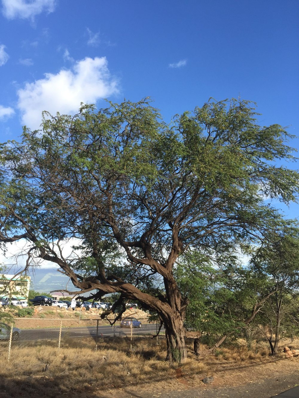 This is one of my favorite Kiawe trees that I pass every day. I love the way it has one long branch that is like an arm.