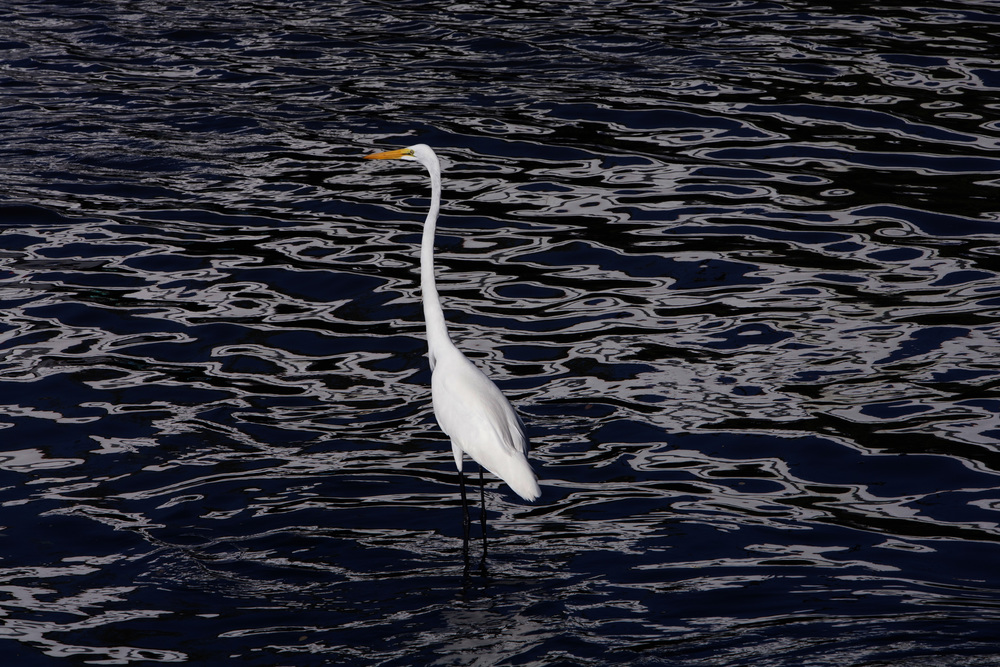 The magic of Zihuatanejo is in early morning light, when the colors seem to vibrate and give life to reflections on a Great Egret in the placid inlet off the Bay. ©Gail Fisher